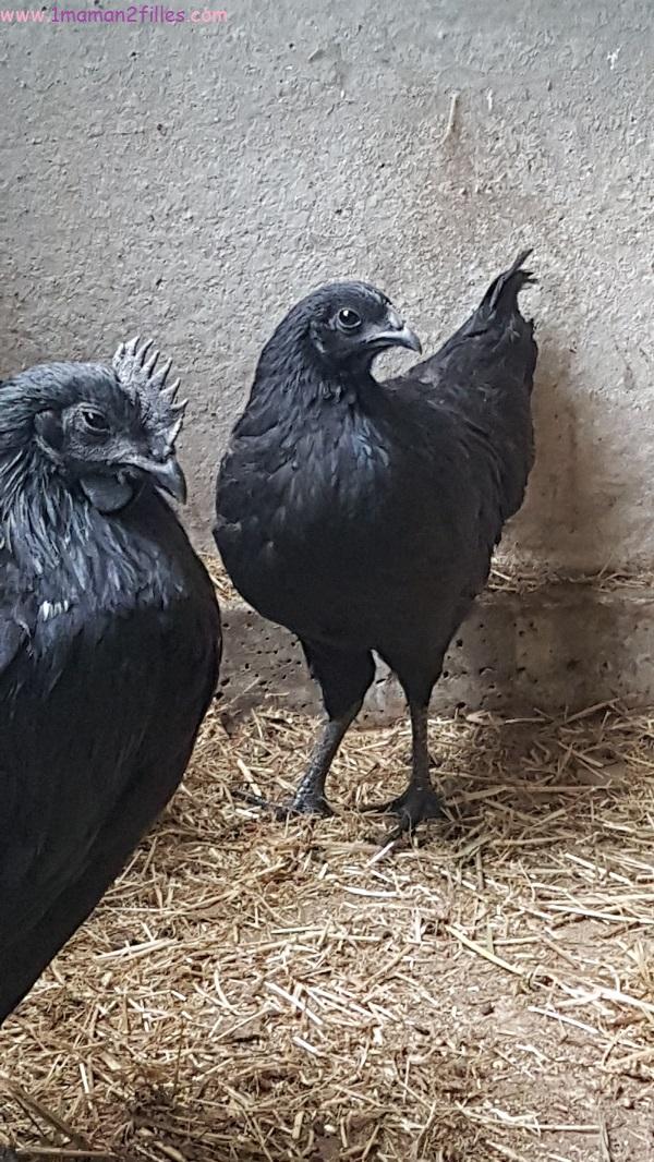 enfant-nature-animaux-poule-canard