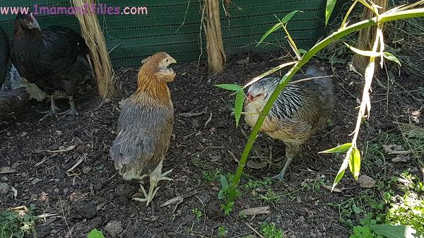 enfant-nature-animaux-basse-cour-poule-canard