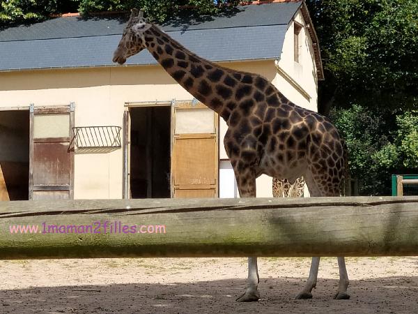 girafe du zoo